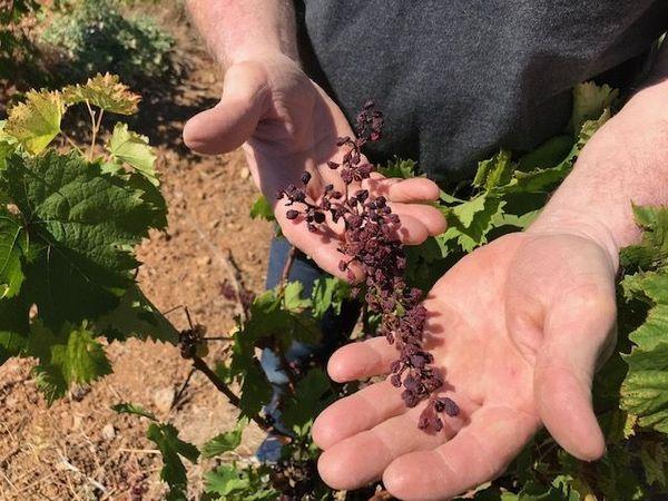 Raisins brûlés par la canicule de 2019 au domaine Belle Dame de Mireval (Hérault)