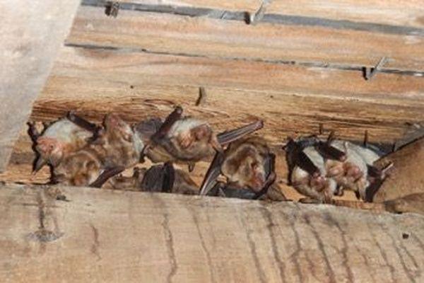 Colonie de mise bas de Grands Murins (Myotis myotis)