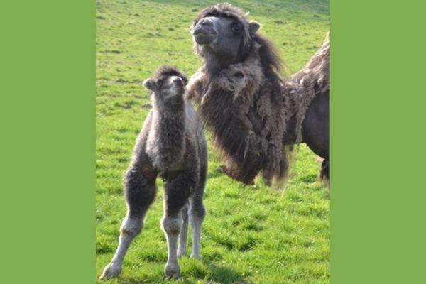 Un bébé chameau a vu le jour au parc animalier d'Arnay-sous-Vitteaux, en Côte d'Or, au mois d'avril 2013.