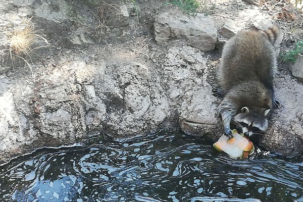 Les soigneurs du Parc animalier d'Auvergne (63) distribuent des glaces au melon aux ratons laveurs pour les rafraîchir.