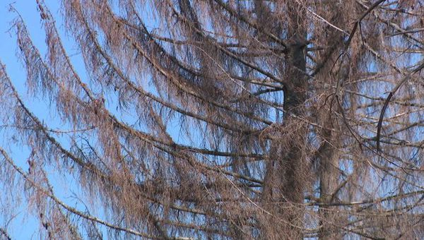 Dès le printemps 2020, les dégâts étaient visibles en forêt, avec de nombreux épicéas morts sur pied.