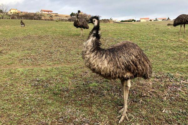 Le parc zoologique abrite 5 espèces d'animaux australiens, notamment des wallabies et des émeus