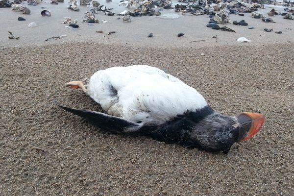 Un macareux mort découvert sur une plage.
