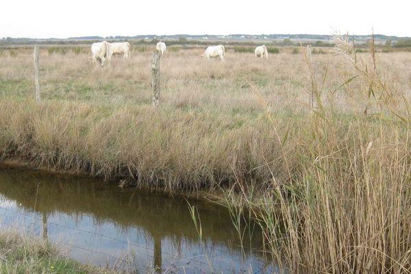 Les marais dédiés à l'élevage autour de Talmont-sur-Gironde en Charente-Maritime.