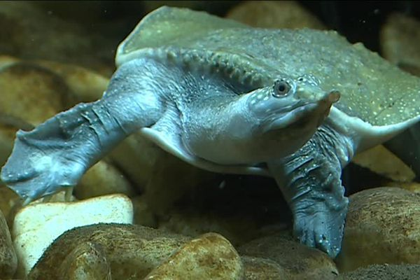 L'Amyda cartilaginea est une tortue aquatique considéré comme vulnérable.