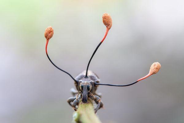 Ce coléoptère est en train d'être tué par un champignon. C'est la deuxième photo de Frank Deschandol primée à Londres en octobre 2019.