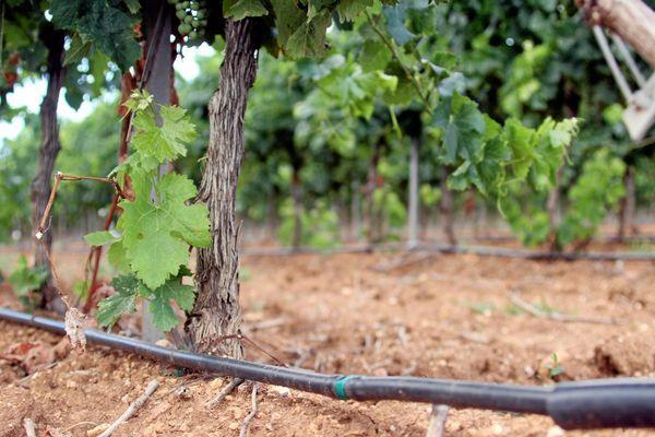 Avec les périodes de sécheresse, les vignerons sont de plus en plus nombreux à installer des systèmes d'irrigation.
