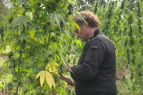 Jouanny Chatoux, chanvrier en Creuse, cultive sa deuxième récolte de cannabis CBD.