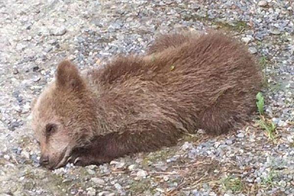 L'ourson, baptisé par la suite Mellous, avait été retrouvé à Fos, en Haute-Garonne, le 5 juillet 2018.
