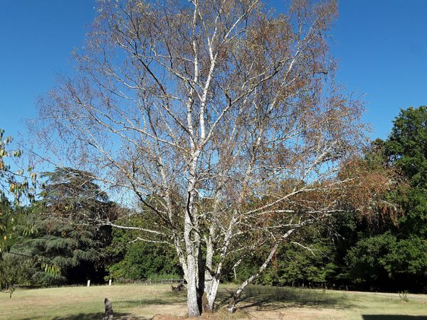 Par endroit, des arbres vieux de plusieurs dizaines d'années comme ce bouleau n'ont pas supporté la sécheresse