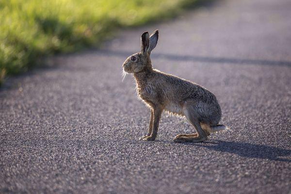 En Ariège, les chasseurs estiment qu'il y a chaque jour une collision entre un véhicule et un animal sauvage.