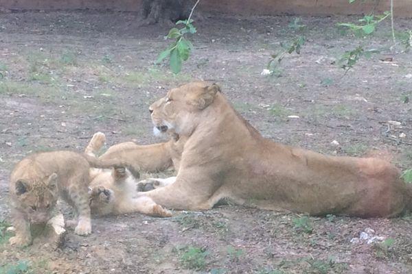 Les lionceaux sont nés à Thoiry le 24 mars dernier.