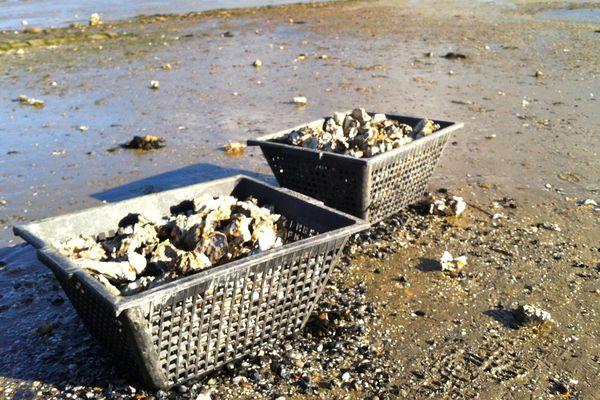 Huitres abandonnées sur la plage du Croisic