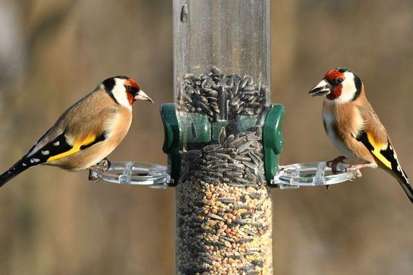 Le chardonneret élégant est l'un des oiseaux que l'on peut aider en hiver en installant des mangeoires dans nos jardins.