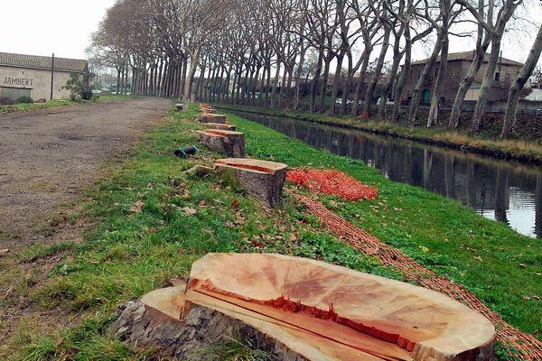 Aude : Canal du Midi - les platanes abattus - archives.