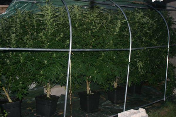 Les plants de cannabis découverts par les gendarmes