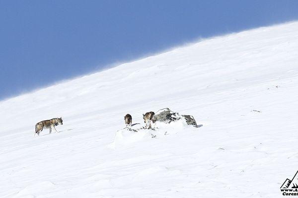 Loup, une vie en meute dans les Écrins