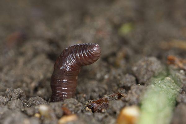 Les vers de terre sont les marqueurs des sols vivants