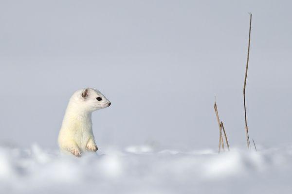 En été, l'hermine a un pelage brun foncé dessus et blanchâtre sur le ventre. En hiver, il devient entièrement blanc, seuls la queue et le nez restent noir aux extrémités.