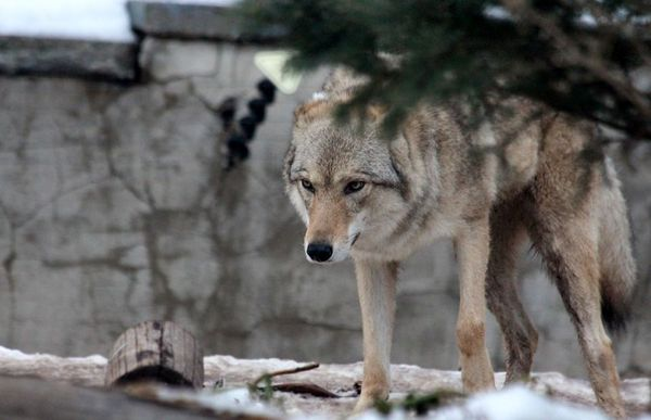 Le Loup gris commun (Canis lupus lupus) est une des sous-espèces de Canis lupus, une espèce de canidés regroupant la plupart des loups, les chiens et les dingos. Il est également appelé loup eurasien, loup européen, loup des Carpates, loup des steppes et loup de Chine. Il mesure environ 80 cm au garrot. Le mâle peut peser de 32 à 59 kg, la femelle est plus légère d'environ 20 % . Sa fourrure peut prendre différents coloris allant du blanc au noir, en passant par différentes teintes de gris.