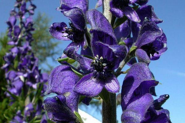 L'aconit napel, aussi appelé casque de Jupiter est connue depuis l'Antiquité, c'est la plante la plus toxique de France