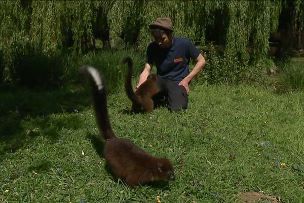 Les comportementalistes ont un contact privilégié avec les animaux du parc, ici des lémurs bambou.