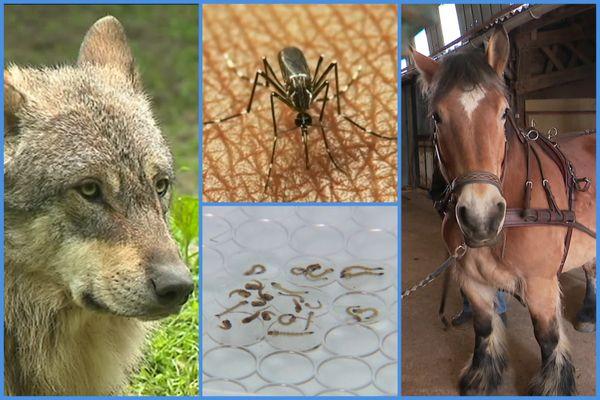 """Au programme de notre """"Enquêtes de Région : Drôles de bêtes"""" : le loup, le moustique tigre et le cheval ardennais."""