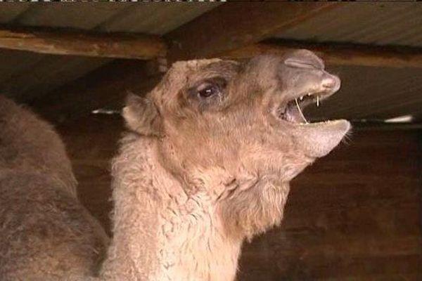 La mère d'un deux dromadaires volés dans un élevage à Feignies.