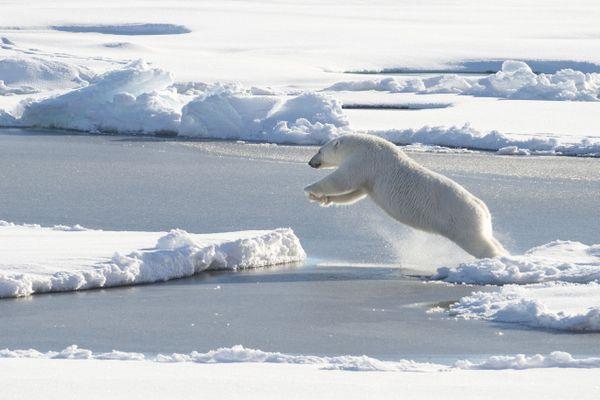 D'ici 2100, l'espèce  pourrait avoir totalement disparu de la planète à l'état sauvage.