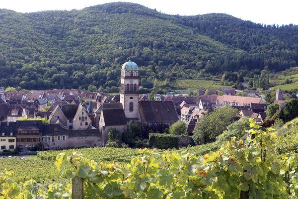 Un millier de pieds de vigne ont été dérobés en ce début de mois de mai dans le secteur de Kaysersberg