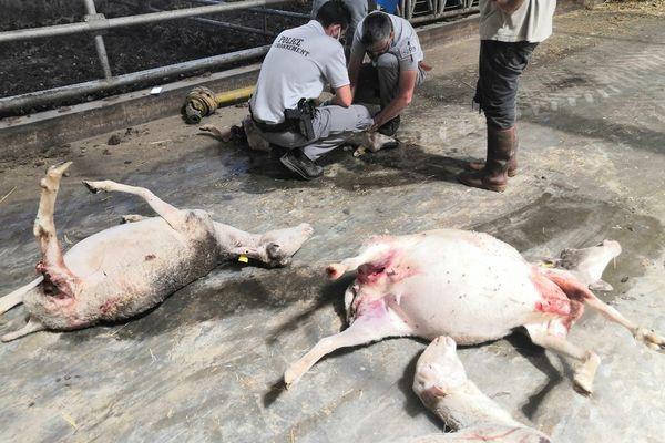 Brebis victimes d'une probable attaque de loup à Estables (Lozère) dans la nuit du 18 au 19 juillet 2021