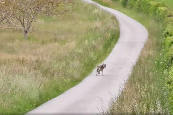 La fédération des chasseurs de la Drôme et un vétérinaire et l'OFB (office français de la biodiversité) ont confirmé qu'il s'agissait bien d'un loup