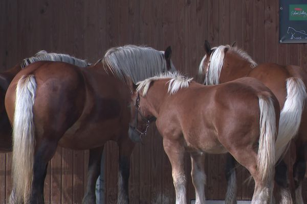 300 chevaux comtois seront présents au concours national de la race à Maîche dans le Doubs.