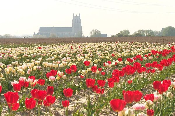 Un hectare de tulipes de 20 variétés différentes a dû être tondu à Aire-sur-la-Lys, faute de cueilleurs.