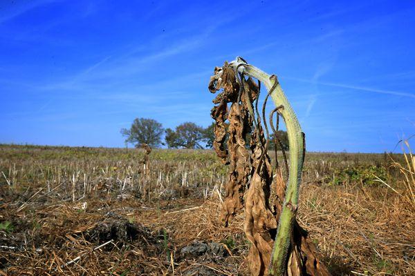 La sécheresse a touché de plein fouet les agriculteurs.