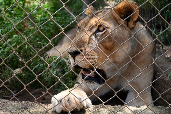 L'une des quatre lionnes du zoo de Ziniaré, près de Ouagadougou (Burkina Faso, Afrique), en 2019.