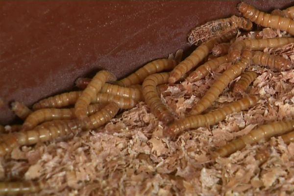 L'entreprise Ynsect prodouit des vers de farines