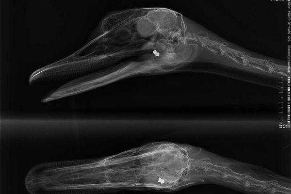 Radiographie de l'animal