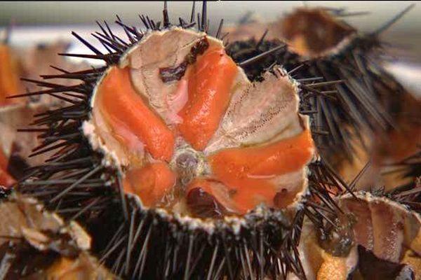 Oursin corse pêché au large de Saint-Florent