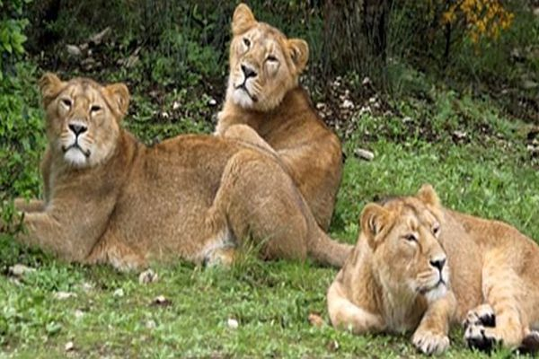 Montpellier - Kirvan, Surina et Salima, les 3 nouvelles lionnes d'Asie du zoo de Lunaret - février 2015.