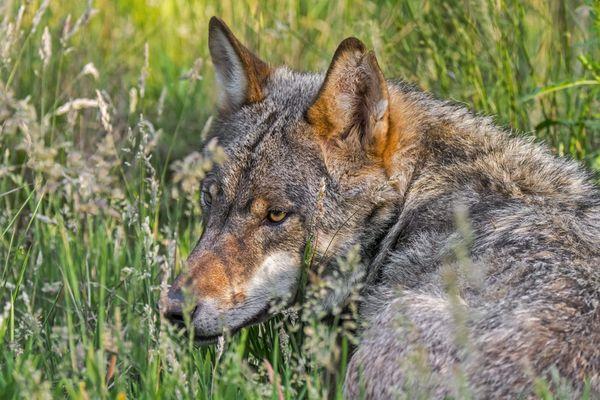 En 2020, deux loups ont été prélevés légalement en Haute-Savoie