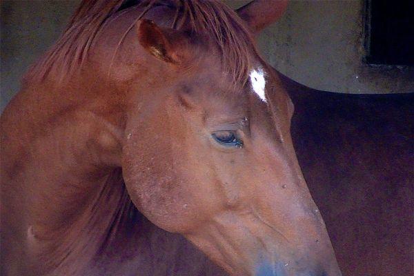 Les agressions de chevaux se multiplient dans la région sans qu'on sache si elles ont un lien entre elles.