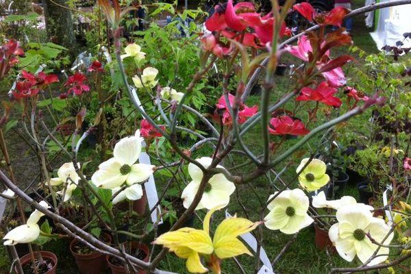 Un cornouiller à fleurs