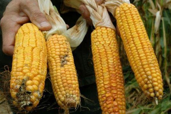 Un paysan montre des épis de maïs transgénique MON810 de Monsanto à droite et deux autres épis normaux, le 27 septembre 2007, à Badingen en Allemagne.