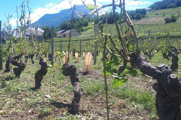 Le vignoble d'Apremont, en Savoie, a été en grande partie dévasté par les orages de samedi.