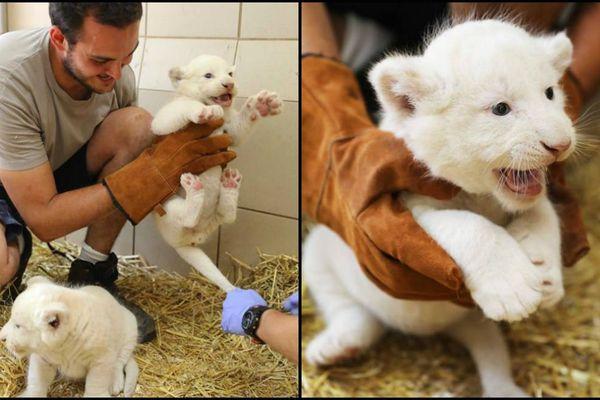 Il va falloir trouver un nom à ces deux adorables lionceaux blancs.