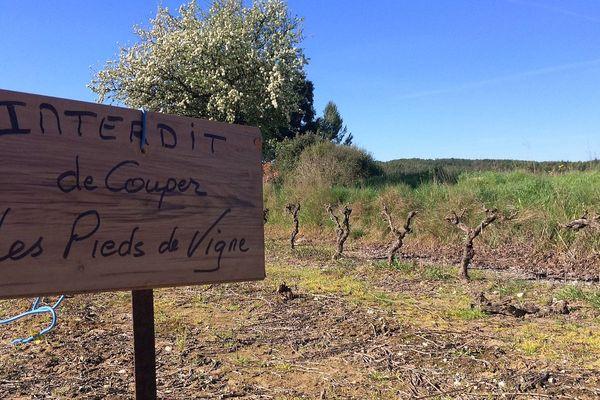 Assas (Hérault) - 500 pieds de vignes coupés et volés - mars 2017.