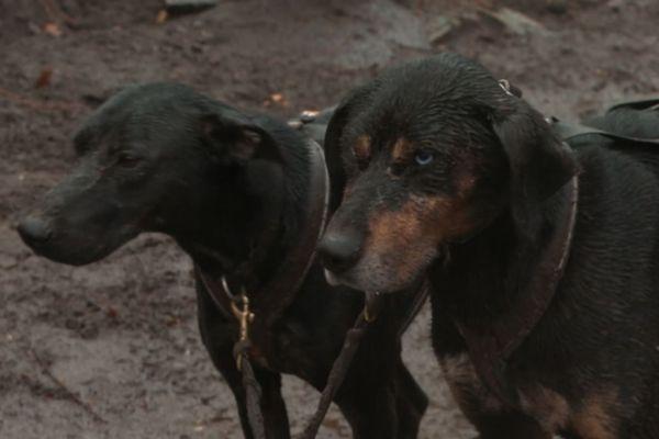 Les chiens couverts de boue, après une balade à Fontainebleau.