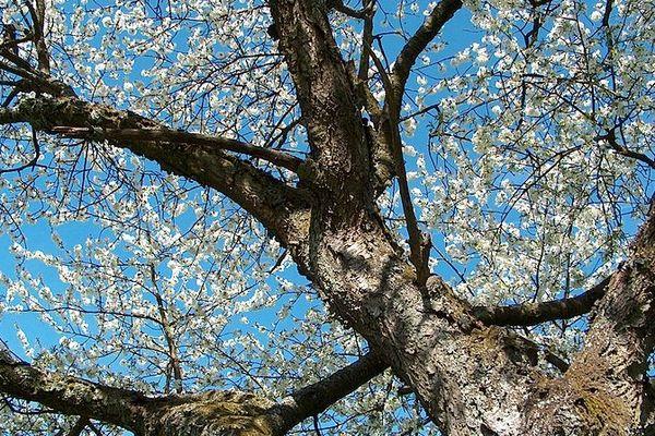 Les arbres enfin en fleur dans le Nord Pas-de-Calais ?