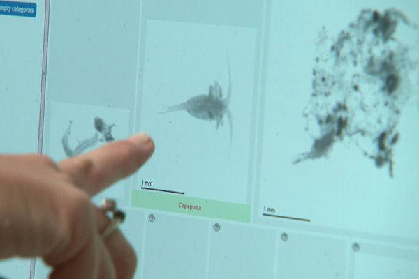 Le ZooScan permet d'identifier les organismes marins présents dans un échantillon de plancton. Ici, un copépode.